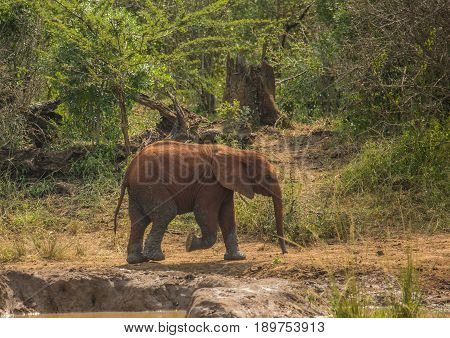 Young African Savannah Elephant  At A Waterhole At The Hluhluwe Imfolozi Park