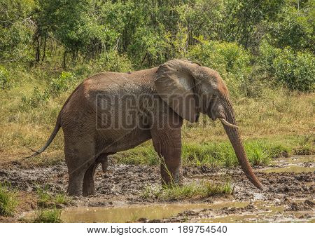 Young African Savannah Elephant  Bull At A Waterhole Spraying Mud On His Body As Sun Protection At T