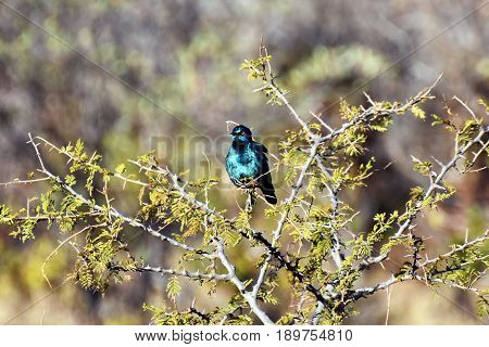 Picture of a Cape glossy starling in South Africa.