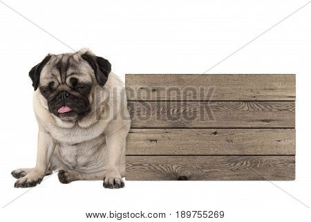 being fed up pug puppy dog sitting down next to blank wooden sign isolated on white background