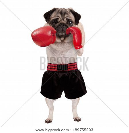 cool standing pug dog boxer punching with red leather boxing gloves and shorts isolated on white background