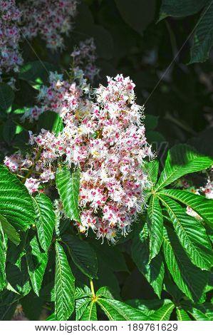 Spring Blossoming Chestnut (castanea Sativa) Flower