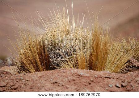 High Mountain Desert Grass - Chile - Andes Mountains