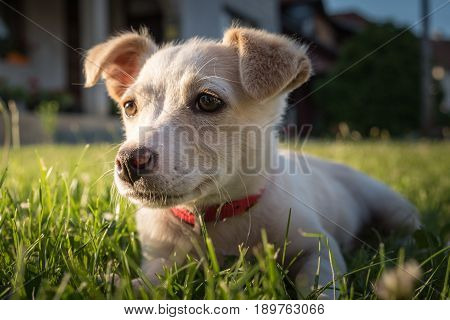 Cute crossbreed beige dog puppy with red collar lying on the grass in the sun