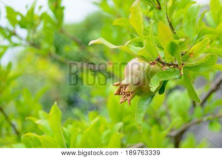 Green Pomegranate Fruit on the Tree Branch
