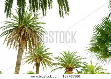 Palm Tree Crowns on the Bright Sky Background. Summer Vacation Concept.