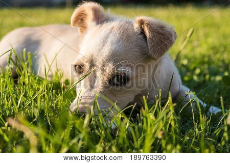 Cute crossbreed beige dog puppy with red collar lying on the grass looking at the camera