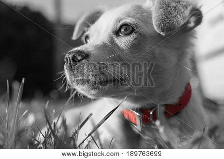 Cute crossbreed beige dog puppy with red collar lying on the grass in black and white