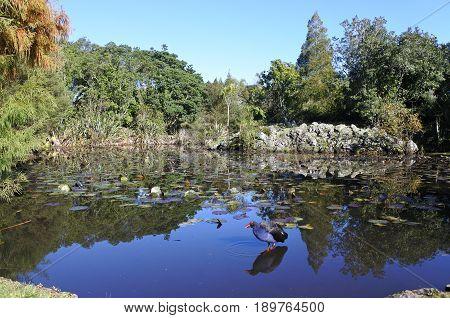 Australasian Swamphen Pukeko