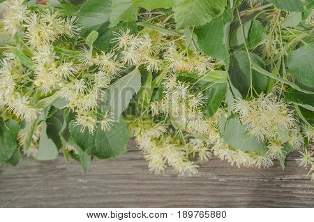 Flowers And Leaves Of Linden Closeup