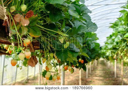 Ripe and Green Strawberries Hanging from Strawberry bed