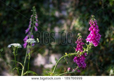 Digitalis Purpurea showing vibrant color in evening sunlight.