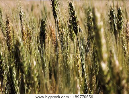Close up of a wheat field near McGregor, Texas in springtime