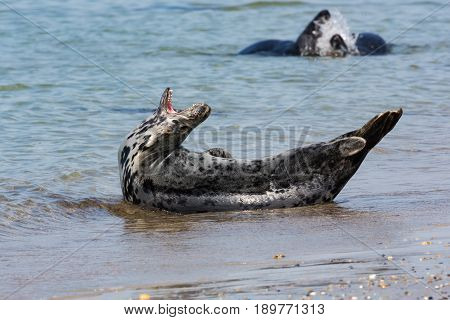 Grey seal with open mouth at the beach of island Helgoland Germany