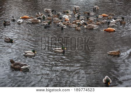 wildlife scene with flock of ducks swimming in the lake