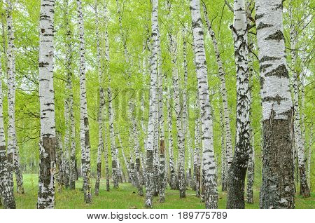 Birch forest with unfold leaves in May