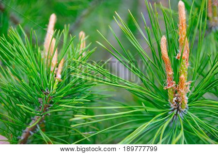 Branches of pine with thick needles close-up