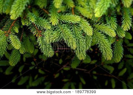 Background Of Christmas Tree Branches And Needles