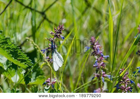Butterfly On A Flower. The Butterfly Sits On A Violet Flower. The Butterfly Collects Pollen From Wil