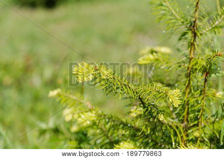 Small Fir-tree. Close Up Small Fir-tree. Sprouts On A Fir-tree.