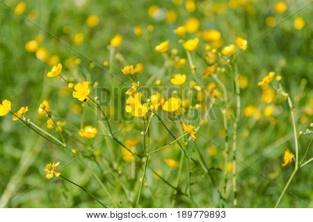 Yellow Wild Flowers. Blossoming Of A Yellow Flower.