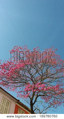 Tree with pink flowers and blue sky on background