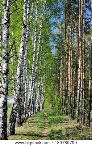 A forest trail between the birch and pine forest