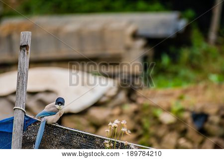 Azure-winged magpie perched on a black mesh fence with a blurred background.