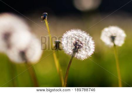 Blowballs In A Meadow In Evening Sun
