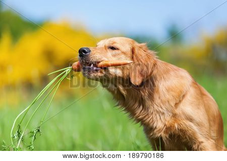 Young Golden Retriever With A Carrot
