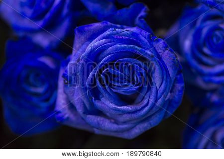 A blue rose with green leaves on a dark background. Sensitive Focus.