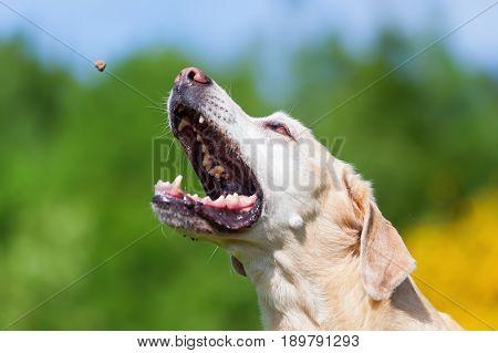 Labrador Retriever Snatches For A Treat