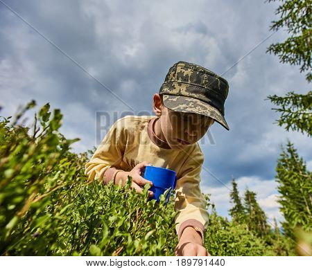 Young preteen boy picking blueberries from bush in Carpathian forest