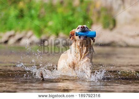 Older Labrador With Treat Bag In The River