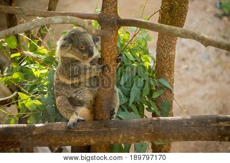 A single koala bear (Phascolarctos cinereus) clings onto a one of the branches of a eucalyptus tree. Wildlife and conservation concept.