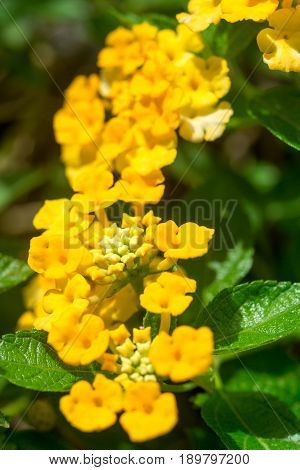 Close-up macro detail of multiple Lantana camara flowers also known as tickberry next to their waxy leaves out in the midday sun. Nature and floristry concept.