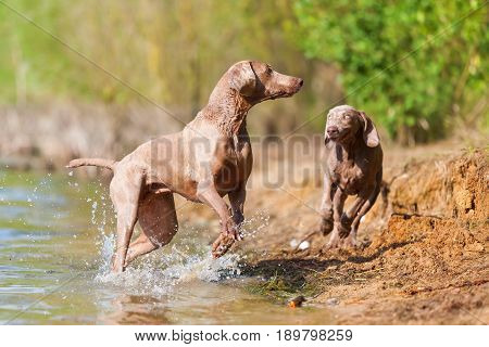 Weimaraner Dogs Playing At The Border Of A Lake