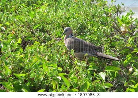 Spotted Dove sitting on Tree in Maui