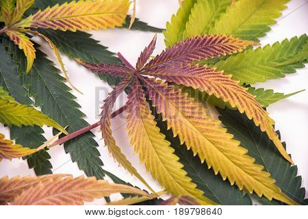 Fresh harvested cannabis leaves pattern isolated over white background - medical marijuana concept
