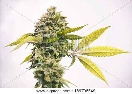 Detail of cannabis cola (Oak tree strain) with visible hairs and leaves on late flowering stage - medical marijuana background