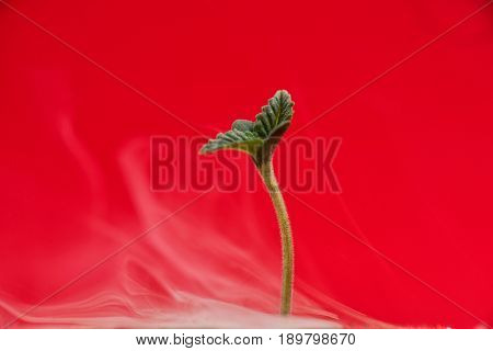 Macro detail of cannabis sprout (Afgani marijuana strain) with the first two leaves, isolated over red background