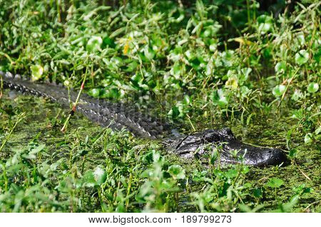 Alligator hiding in the Lousiana Swamps, Near New Orleans