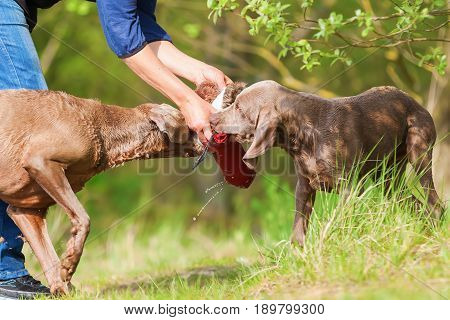 Person Plays With Two Weimaraner Dogs