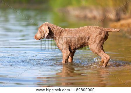 Weimaraner Puppy Walking In A Lake