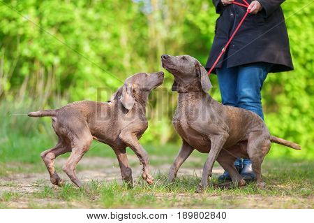 Woman With A Weimaraner Dog Who Plays With A Puppy