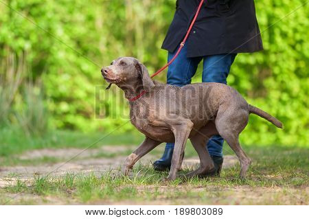Woman With A Weimaraner Dog At The Leash