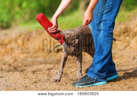 Person With A Weimaraner Puppy Lakeside