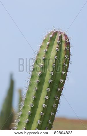 Cactus with prickly spines and thorns in the desert.
