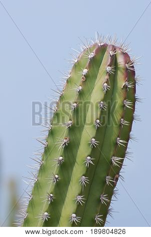 Desert cactus with sharp barbs and thorns.