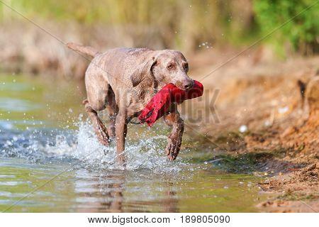 Weimaraner Dog With A Treat Bag